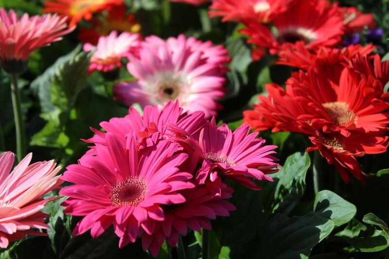 gerbera bloem