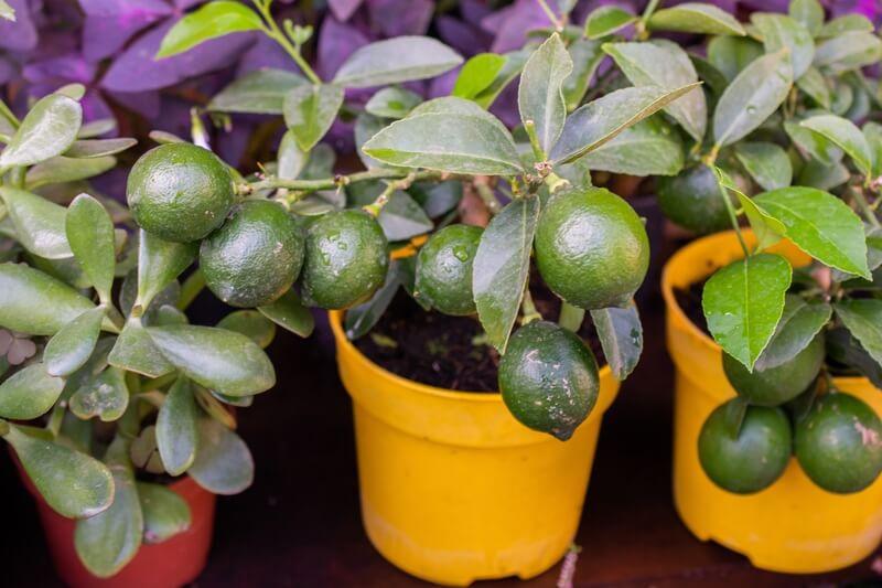 Citrusplant verzorgen