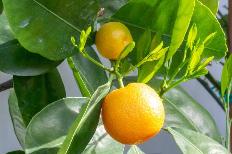 Citrusplanten verzorgen