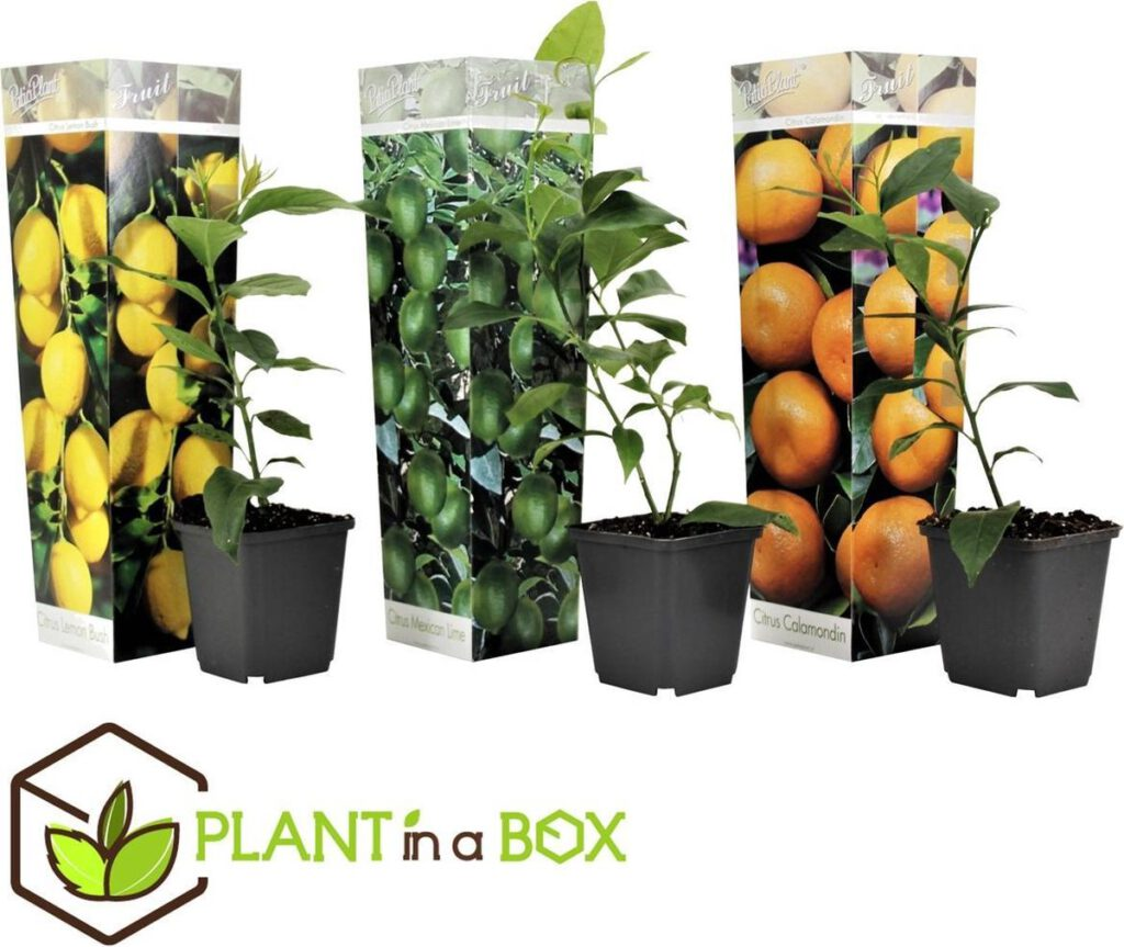 Set van 3 Citrus fruitboompjes