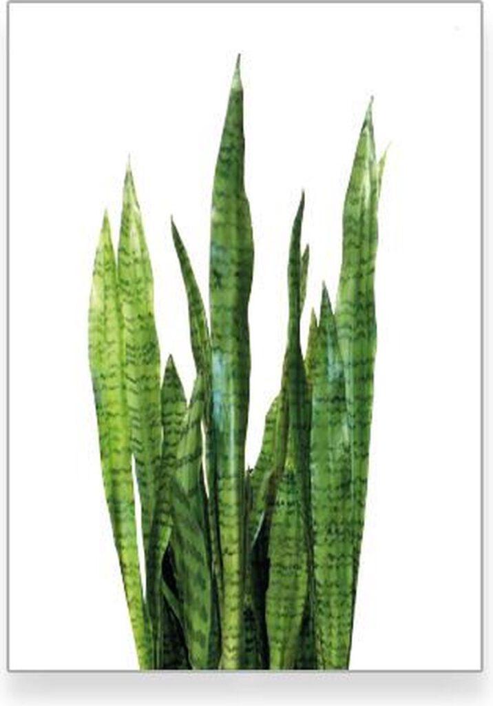 Botanische sanseveria poster